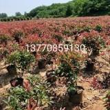红叶石楠小苗价格