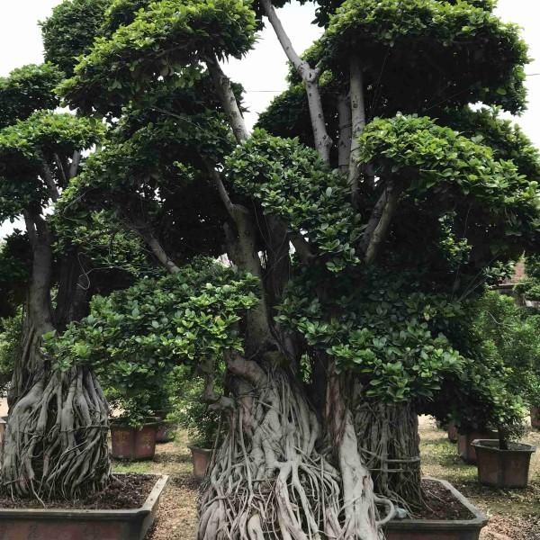 4米高造型小叶榕树桩桩头桩景价格批发报价
