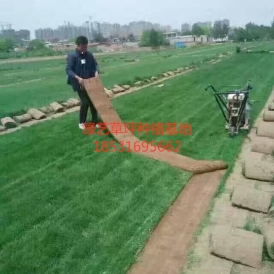 石家莊早熟禾草坪銷售