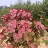 彩叶杨树苗价格
