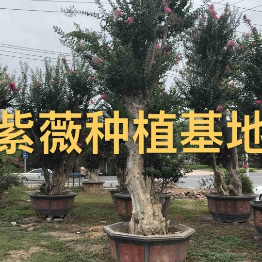 2米高紫薇樁 紫薇樹樁價格 紫薇樁景批發
