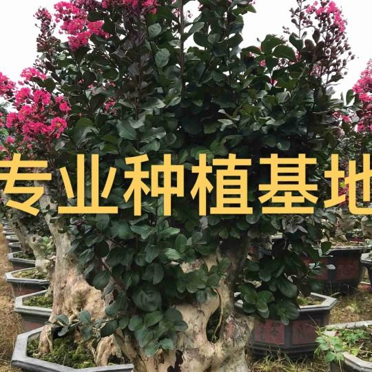 1.5米高紫薇樁 造型紫薇樁價格 紫薇樁景報價