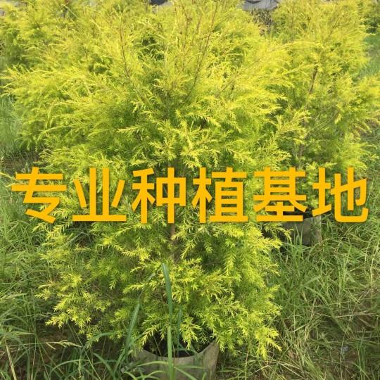高50公分黃金香柳苗價格