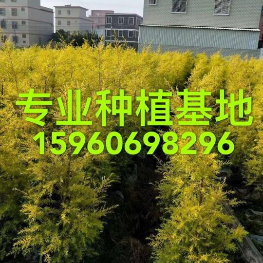 高1米黃金香柳批發 黃千層報價 浙江千層金價格