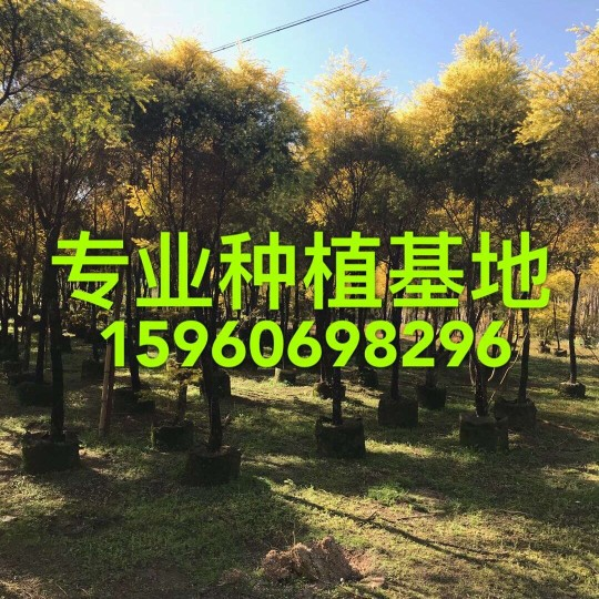 高3米黃金香柳,千層金價格