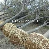 精品朴树出售