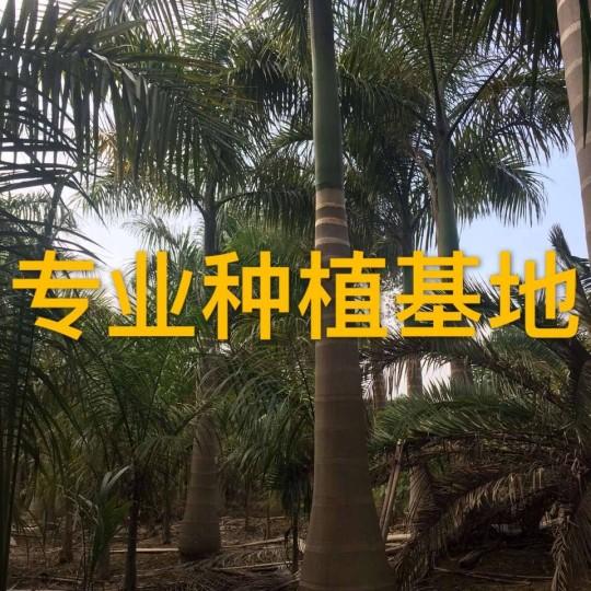 高4米大王椰子樹報價