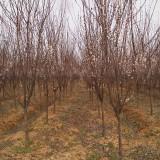 红叶李2-10公分苗圃价格