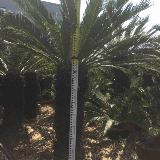 高1.5米苏铁价格 铁树报价