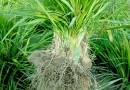 福建麦冬小苗价格矮麦冬玉龙草