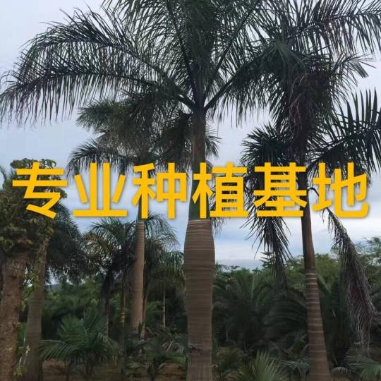 高6米大王椰子樹