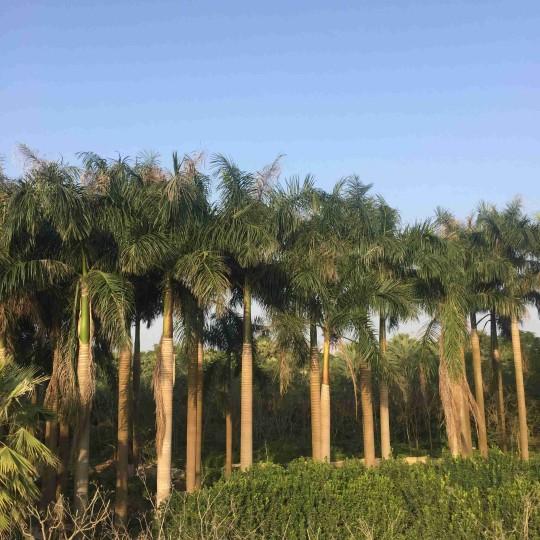 福建大王椰子價格批發8米高