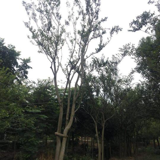 移栽苗丛生朴树