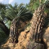 杆高1.5米布迪椰子树批发