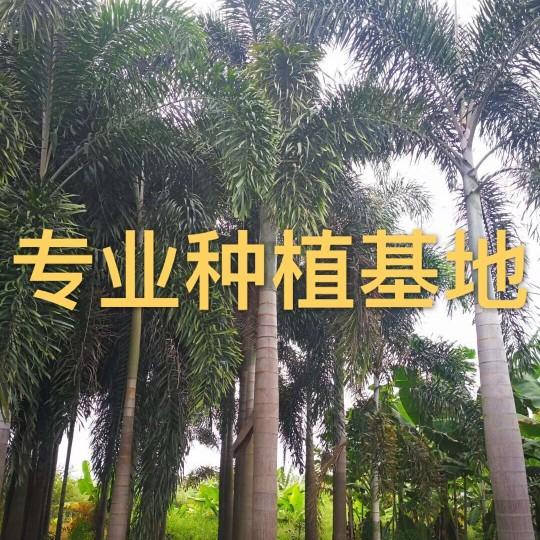 高8米狐尾椰子價格批發 狐尾椰子樹報價