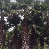 高10米华盛顿棕榈 老?#19997;?#22522;地 华棕批发