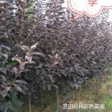 郑州供紫叶稠李