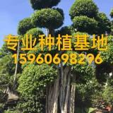 小叶榕高3.5米 造型榕树报价 造型小叶榕桩头