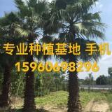 杆高5米老?#19997;?#20215;格 华棕批发 华盛顿棕榈价格