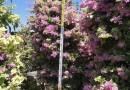 多色三角梅 紫花红花柱形造型三角梅