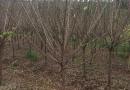 150公分红梅树苗