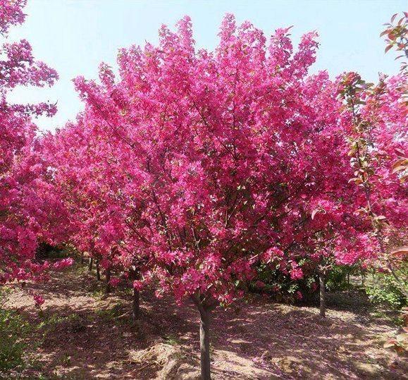 供應絢麗海棠樹