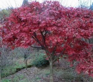 供应绚丽海棠树