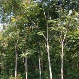 栾树8公分