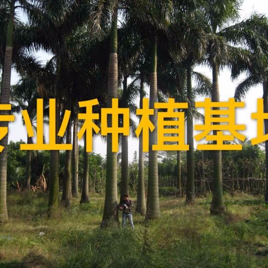 高8米大王椰子樹價格批發