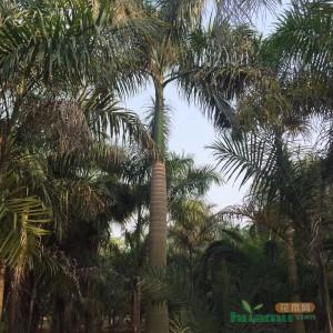 高8米大王椰子树价格批发