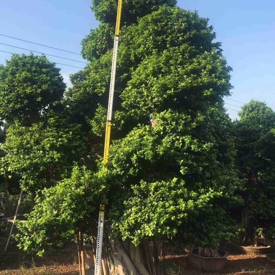 造型小葉榕報價 造型榕樹 小葉榕樁頭樁景