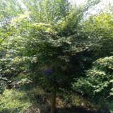 4公分鸡爪槭