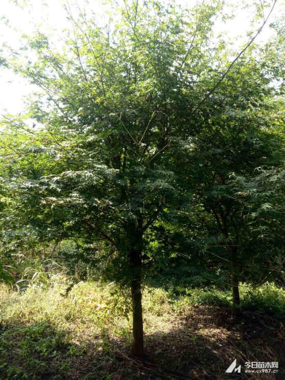 8公分鸡爪槭价格 鸡爪槭专业种植基地