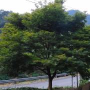 地径20-40公分大红枫