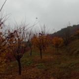 12公分槭枫