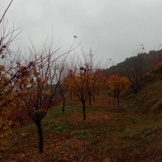 12公分槭楓