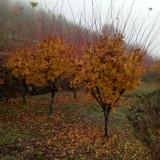 20公分槭枫