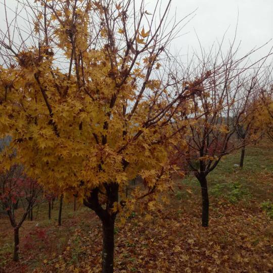 10公分槭枫价格