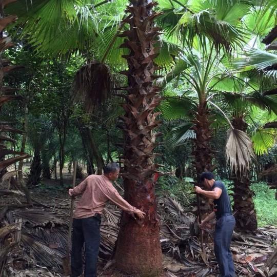 桿高5米老人葵 華盛頓棕櫚 華盛頓葵價格
