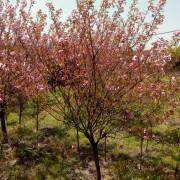 12公分日本晚樱花