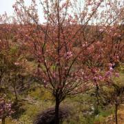 9公分日本晚樱花