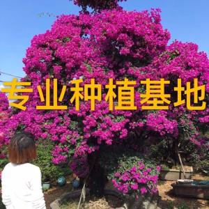 三角梅 勒杜鹃 多色紫色红色造型三角梅
