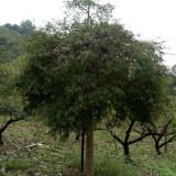 6公分羽毛枫
