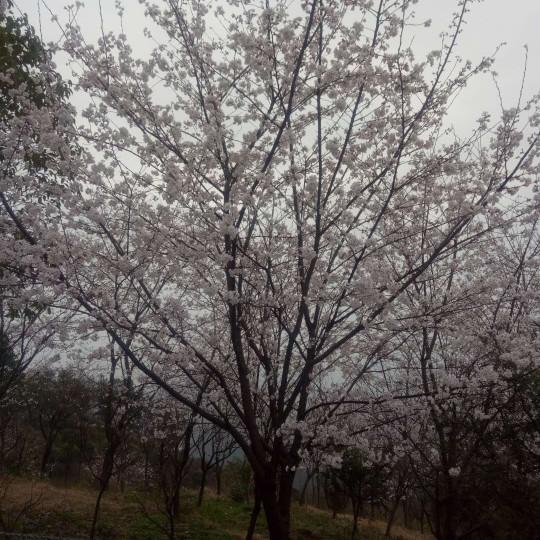8公分日本早櫻