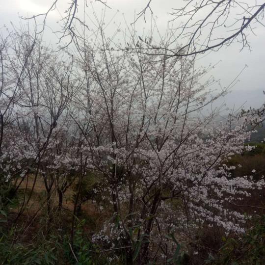 15公分日本早樱