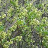 珍珠花苗木