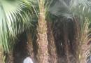高8米蒲葵价格 蒲葵树批发