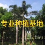 狐尾椰子树价格