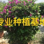 红花紫花多色三角梅勒杜鹃造型三角梅球柱价格批发