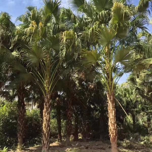高8米蒲葵價格 蒲葵樹批發